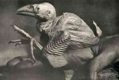 A fatu-livu (or gillygaloo), a mythical bird that lays square eggs. early twentieth century humorist george shepard chappell claimed that the eggs themselves resembled dice and could be employed in that capacity in a pinch.