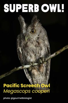 Did you see the #SuperbOwl? It's known as a Pacific Screech Owl, and our team has spotted them thriving on Rainforest Alliance Certified coffee farms in Nicaragua. Follow @gourmetbiologist on Instagram for more beautiful bird photography -- you won't egret it. Coffee Farm, Screech Owl, Wild Things, Beautiful Birds, Farms, Owls, Photo And Video, Photography, Animals