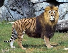 pictures of male lions in the wild | When lions breed with tigers the resulting hybrids are known as ... Unusual Animals, Rare Animals, Animals And Pets, Funny Animals, Unusual Pets, Extinct Animals, Beautiful Cats, Animals Beautiful, Animals Amazing