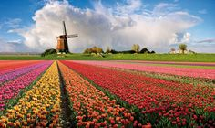 Tulip Fields and Windmills - Holland. Next time.