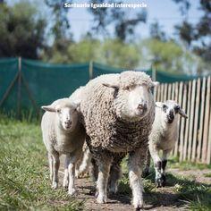 Todas las ovejas que han llegado santuario lo han hecho huérfanas con el corazón…