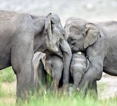 with the wildlife season, photographer Rajesh Bedi's forthcoming exhibition, Elephant - The Divine Mystery, seeks to highlight the need for conservation of elephants. Elephants Photos, Elephant Pictures, Save The Elephants, Cute Animal Pictures, Baby Elephants, Elephants Never Forget, Cute Baby Elephant, Elephant Family, Cute Baby Animals
