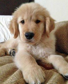 Carter the Golden Retriever Pup