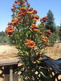 Sneezeweed (helenium): This appears to be one of the group known as sneezeweed, because Native Americans used its dried petals to prevent hay fever. This tall perennial is reliable, easy to grow and a standout in the summer and fall garden. Heleniums grow best in moist, even wet, poorly drained soil. Autumn Garden, Native Americans, Perennials, Group, This Or That Questions, Plants, Summer, Summer Time, Summer Recipes