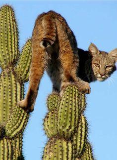 Bobcat , nice, from Iryna