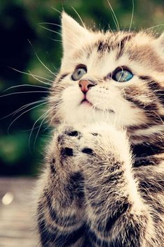 """Dear God: I am a good kitty. Eat all my food and do my business in the litter; it is too much to ask for more wet food in my plate? And a Cat tree? And also tell Santa Claus that I'm expecting him this year... Amen!"" ♥"