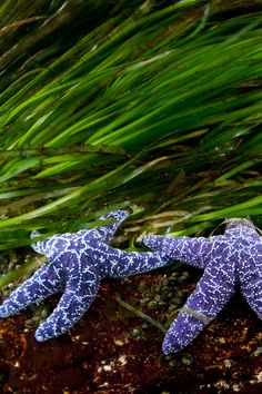 """ Sea Stars, British Columbia by Thomas P. Peschak """