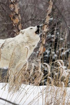 arctic wolf howling | animal + wildlife photography #wolves