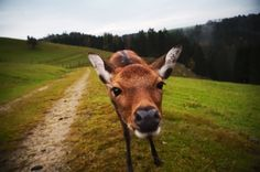deer Goats, Deer, Cow, Animals, Animales, Animaux, Cattle, Animal, Animais