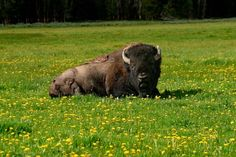 After the National Bison Legacy Act passed unanimously in both the House and the Senate, President Obama signed a bill into law declaring the American Bison as our national mammal on Monday, May 9, 2016. This is the first national mammal of the United States.