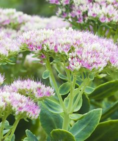 Stonecrop (Sedum)   Two experts share their favorite drought-tolerant plants that will make your life easier (and help you save water)!