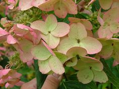 Passionate Hydrangea - Blooms turn a creamy-mauve as they mature.
