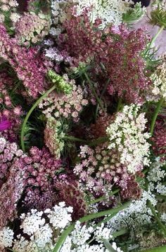 Chocolate Queen Anne's Lace~what's not to love!