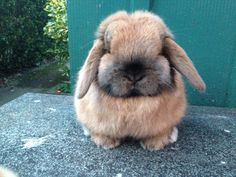 High Rufus Sooty Fawn Mini Lop Doe