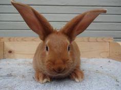 new zealand red rabbit New Zealand Rabbits, Baby Animals, Cute Animals, Raising Rabbits, Holland Lop, Rabbit Baby, Honey Bunny, Baby Bunnies, Fur Babies