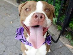 ~~BEAUTIFULLY BEHAVED 1 YR OLD PUPPY TO BE DESTROYED 7/30/14~~ Manhattan Center -P  My name is FRANCISCO. My Animal ID # is A1006896. I am a male chocolate and white am pit bull ter mix. The shelter thinks I am about 1 YEAR   I came in the shelter as a STRAY on 07/16/2014 from NY 10452, owner surrender reason stated was STRAY.