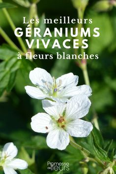 geraniums: the best 10 whites Landscaping Tips, Garden Landscaping, Hortensia Rose, Perennial Geranium, Geranium Vivace, Shade Garden, Container Gardening, White Flowers, Perennials