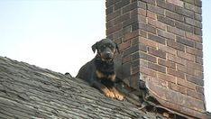 A frightened and hungry Rottweiler named Isis was rescued after being stuck on the roof of a house in Ohio for three days. Rick Chambers reports for the KTLA 5 News at 6 on Sunday, Nov. Doberman Mix, Doberman Pinscher Puppy, We Are The World, In This World, Baby Puppies, Dogs And Puppies, Rescue Dogs, Animal Rescue, Rottweiler Names
