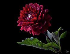 black dahlia   Black Dahlia Photograph by Endre Balogh - Black Dahlia Fine Art Prints ...