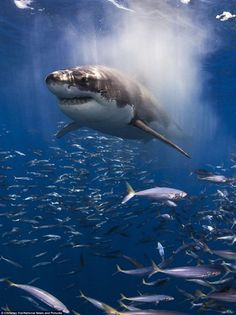 Another of Christian Vizls award winning photographs, this time featuring a shark in his natural habitat