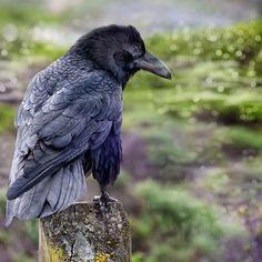 raven posing.