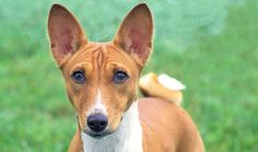 Intelligent and mischievous, Basenjis are suited to many types of homes. Learn all about Basenji breeders, adoption health, grooming, training, and more.