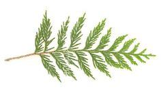 Cedar leaf tattoo