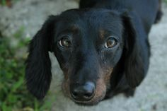 #MISSING #Lost #Pet #Dog #FLORIDA ~~~~  June Bug :: #Doxie #Dachshund-Miniature / Dachshund Long Haired Mix    #Melbourne, FL, United States 32935 on November 13, 2013 (13:00 PM)