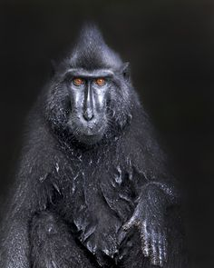 Crested Black Macaque- Photo by Ken Conger (Lanexa, Virginia); Indonesia