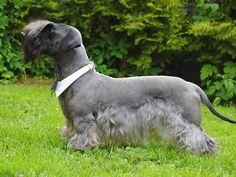 cesky terrier | Cesky Terrier dog