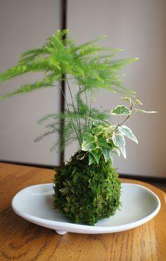 Beautiful jade Tamakokekoke creative landscape bonsai radiation micro mini personality desktop potted flowers and plants - Taobao