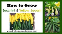 How to Grow Zucchini and Yellow Squash