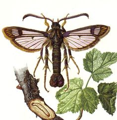 1956 Clearwing or Glaswing Moths, Hornet Moth, Sesia Apiformis Original Vintage Offset Lithograph. $16,95, via Etsy.