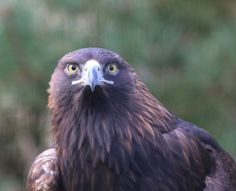 Golden Eagle by jamie_____d