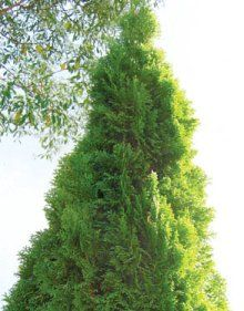 Top ten conifers for your garden