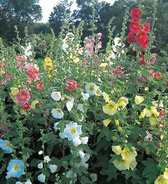 HOLLYHOCKS. These grow wild here, so they can't be too hard to grow!