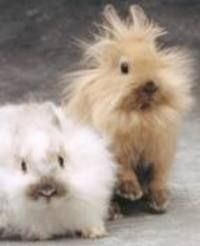 dwarf rabbits - Google Search