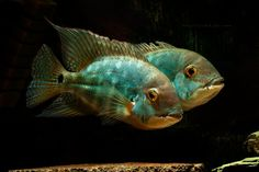 HECKEL, Common Name: Parrot Cichlid Cichlid Aquarium, Cichlid Fish, Tropical Freshwater Fish, Freshwater Aquarium Fish, Tropical Fish, South American Cichlids, Oscar Fish, Monster Fishing, Life Under The Sea
