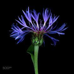 CENTAUREA BLUE… by Magda Indigo on 500px