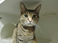 TABITHA - A1096104 - - Manhattan Please Share:*TO BE DESTROYED 11/20/16***GREAT AVERAGE RATING…SPAYED 7 YEAR OLD – STRAINING IN LITTERBOX – ON VET CHECK – NEEDS RESCUE – CAME IN WITH 3 OTHER CATS -OWNER DUMPED FOR MOVING. - Click for info & Current Status: http://nyccats.urgentpodr.org/tabitha-a1096104/