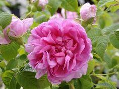 Kirkkoruusu Rosa francofurtana Empresse Josephine  At/Co. Kasvukorkeus 1-1,5 m.