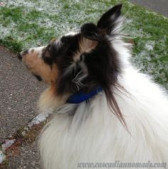 Harlequin blue merle rough collie dog, Huxley, on a walk in icy Seattle.