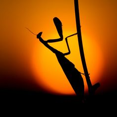 Praying Mantis (Photographer, Heinz Maier)