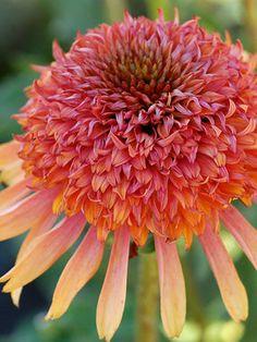 Echinacea Secret Desire