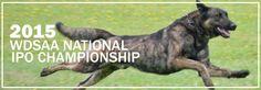 2015 Working Dutch Shepherd Association of America IPO National Championship ( WDSA )