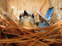 A bold Eastern Bluebird incubating her eggs. Photo by Bet Zimmerman