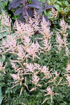 Astilbe Simplicifolia 'Hennie Graafland', Astilbe 'Hennie Graafland', False Spirea 'Hennie Graafland', False Goat's Beard 'Hennie Graafland', Pink Astilbes, Pink flowers, flowers for shade