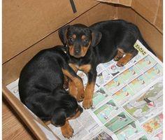 15 Best What Is A Meagle Images Miniature Doberman Pinscher