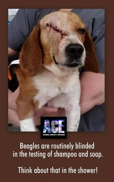 veganize this. — animalscanttalk: Beagles are routinely blinded...