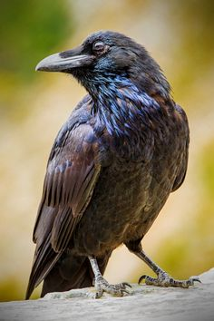 Symbolic meaning of raven